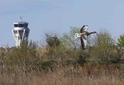 Wild goose flying in airport area